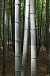 Bambooeffect_2